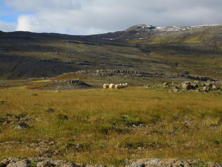 Work & Travel in Island: Schafabtrieb Teil II – Réttir undWettbewerbe